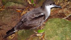 Edin Whitehead: Up to 90% of northern seabird populations at risk of extinction