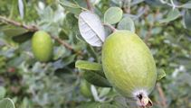 Ruud Kleinpaste: Feijoa pruning - what you need to know