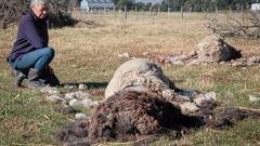 Roz Rowe sits near her sheep which were killed in a dog attack which took place Saturday night or in the early hours of Sunday morning. Photo / Warren Buckland.