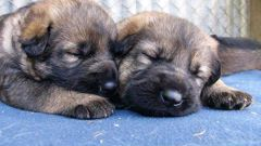 Four-week-old puppies from a litter of NZ Police dogs. (Photo / File)