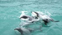 Fishing industry says stopping nets not the only way to save dolphins