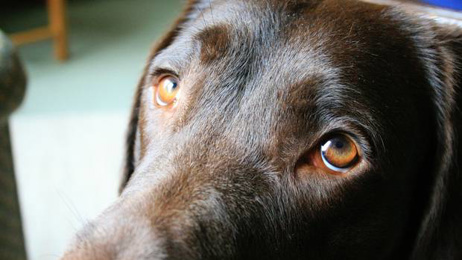 Study reveals the truth about 'puppy-dog eyes'
