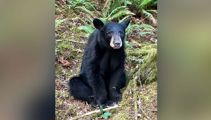 Black bear in US euthanised for being too friendly with humans