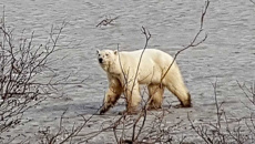 Hungry polar bear spotted in Siberian suburbia, miles from natural habitat
