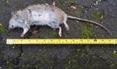 Rats as long as 30cm have been seen scurrying around Titirangi village. (Photo / File)