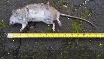 Rats are swarming NZ suburbs - how do we get rid of them?
