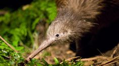 Ruud Kleinpaste: Kiwi birds are in trouble - they need our help