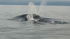 Mating call of rare whale recorded for the first time