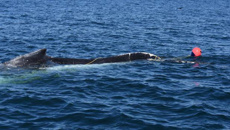 Department of Conservation looking for humpback whale entangled in fishing line