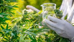 The Ministry of Health has released a proposal for medicinal cannabis regulations for public feedback today. Photo / Getty Images