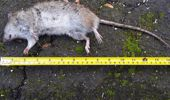 Rats as long as 30cm have been seen scurrying around Titirangi. Photo / File