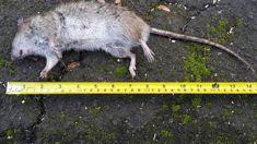 Greg Presland: Titirangi locals concerned over infestation of huge rats