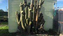 Man selling giant cactus denies he is a drug dealer