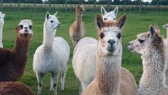 Landlord Sue Forbes said one of her farm alpacas nearly died when it ate rubbish left lying around by her tenant. Photo / File