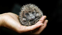 Mating hedgehogs amongst animals that have sparked police callouts