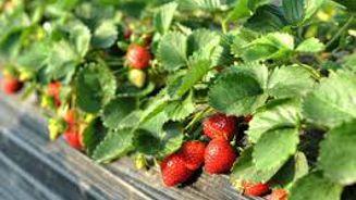Ruud Kleinpaste on planting strawberries