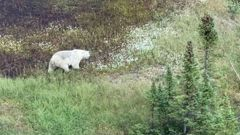 The polar bear is a sign of how remote the search area has become. (Photo / RCMP Manitoba - Twitter)