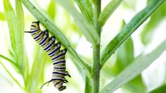 Ruud Kleinpaste: Caterpillars, Swan Plants and Monarch Butterflies