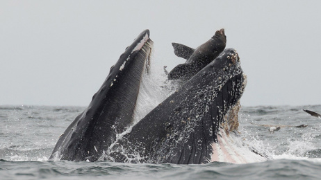 Photograph shows sea lion trapped in mouth of humpback whale