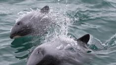 Canterbury fisherman fined after fishing in zone protecting endangered dolphins