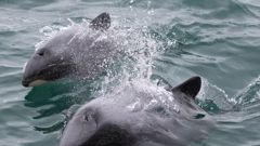 Hector's dolphins are a protected endangered species.