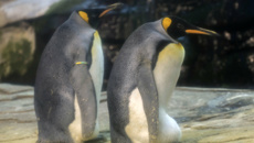 Gavin Grey: Gay penguin couple adopted an egg in a Berlin zoo