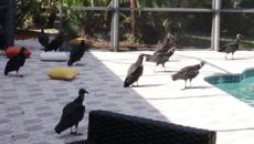 Swarms of black vultures take over Florida community