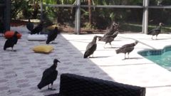 The vultures have caused havoc for some Florida residents. (Photo / CNN)
