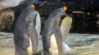 Gay penguins in Berlin looking after an egg