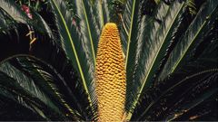 An example of a cycas revoluta cone. (Photo / Getty)