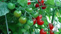Ruud Kleinpaste: It's time to plant tomatoes