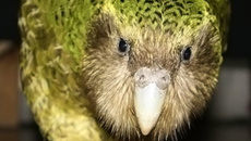 Kākāpō population reaches highest point in 70 years