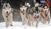 Video shows police struggling to chase down runaway dog sled