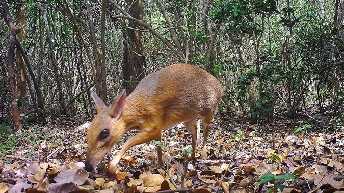 A camera trap photo of a silver-backed chevrotain, a deer-like creature that was thought lost to science but has been discovered living in the wild in Vietnam. (Photo / Southern Institute of Ecology via CNN)