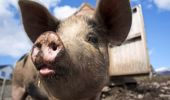 The disease is incurable and would lead to mass culling of pigs. (Photo / SXC)