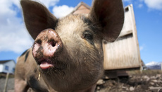 David Baines: African swine flu threatening New Zealand pork industry