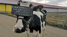 Russian dairy farmers gave cows VR goggles to make them happier