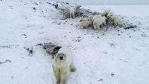 Polar bears crowd Russian village in search for food