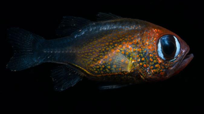 The cat-eyed cardinalfish was discovered this year. (Photo / Mark Erdmann via CNN)