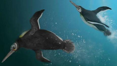 Ancient penguin species found on Chatham Islands helping bridge gap in knowledge