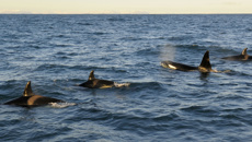 Grandmother killer whales boost calves' survival, study finds