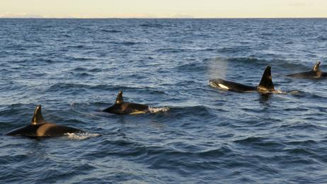 Grandmother killer whales boost calves' survival, study finds