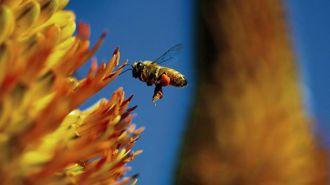 How growing demand of almond milk is killing billions of bees