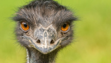 Emus refuse to leave small Australian town alone