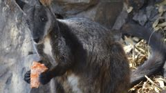 A  male brush-tailed rock wallaby eating supplementary food researchers provided. (Photo / Guy Ballard/NSW DPI - UNE via AP)
