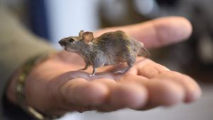 The impact of mice on subantarctic Antipodes Island has pointed to the toll they could wreak on a New Zealand successfully cleared of stoats, rats and possums. Photo / NZME