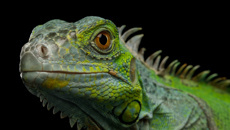 Florida residents warned of falling iguanas