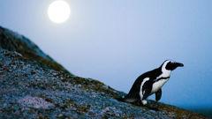 An African penguin walks during a full moon at Boulders Beach 2010. (Photo / CNN)
