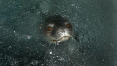 Weddell seals return to Scott Base after 60 years