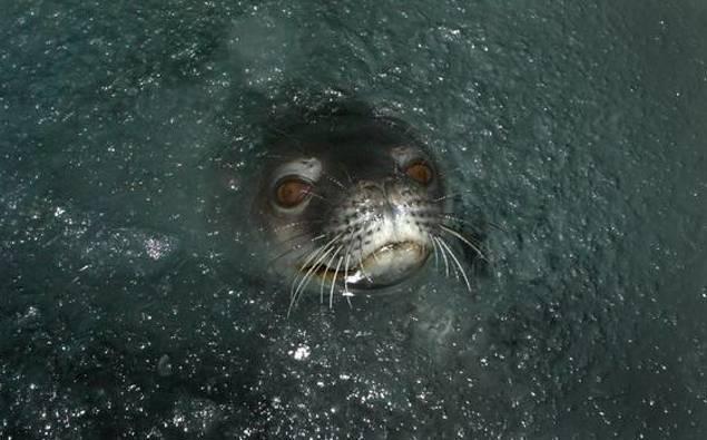 Weddell seals return to Scott Base after 60 years